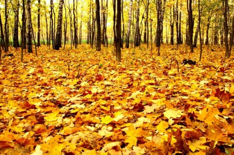 2630725-edge-of-the-forest-wilth-yellow-dead-maple-leaves